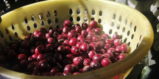 Cung cấp cà phê với tỉ lệ hạt chín trên 95%