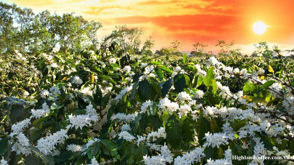 Rừng hoa cà phê