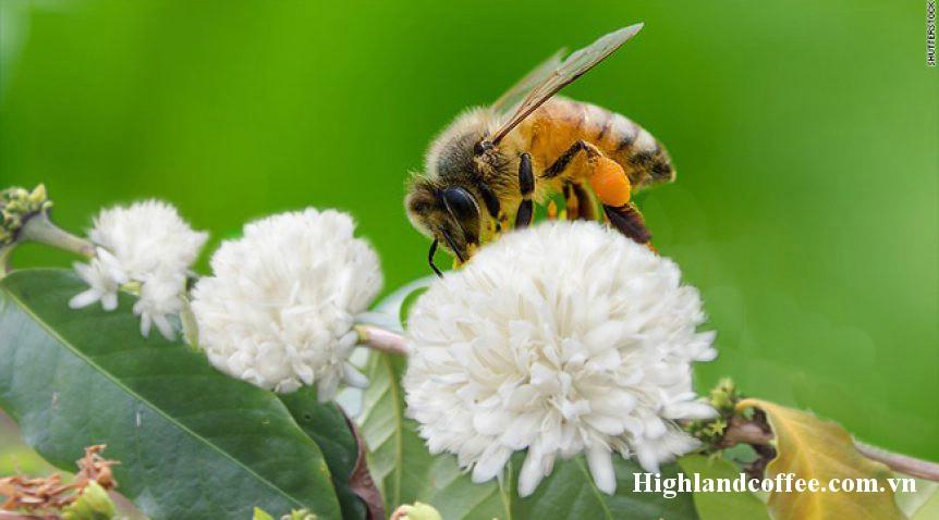Ong đi lấy mật hoa cà phê