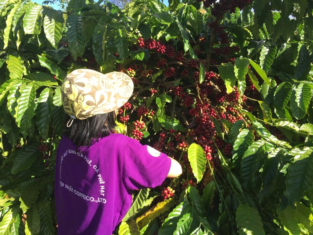 HỢP NHẤT FARM vào mùa thu hoạch - Hái lựa trái chín